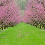 alberi fioriti Montelibretti