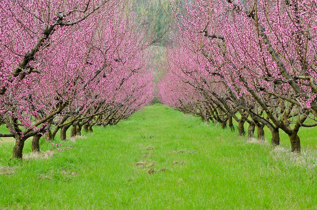 Alberelli da giardino fioriti perfect la primavera nel for Alberelli da giardino fioriti