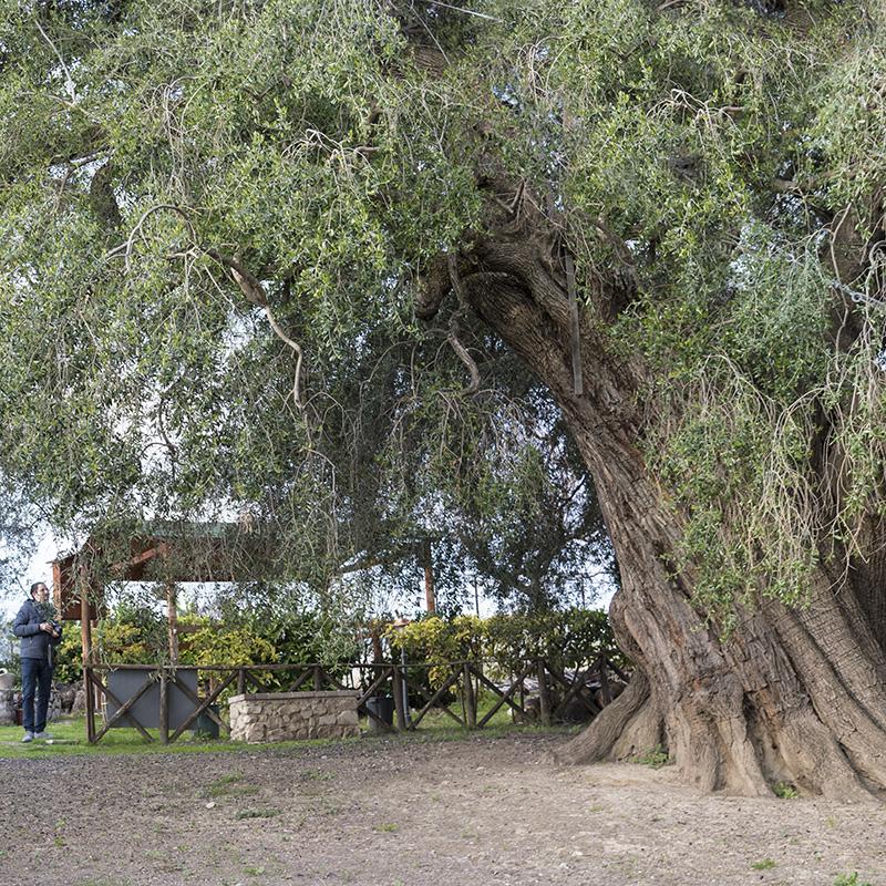 Olivone Fara in Sabina